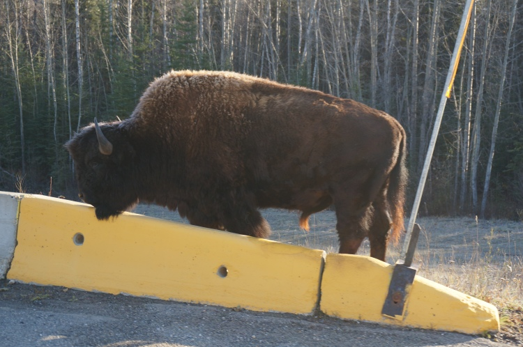 Bison by the side of the road